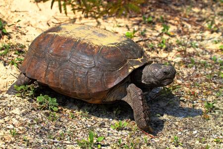 cold blooded: Gopher Tortoise (Gopherus polyphemus) in the dessert