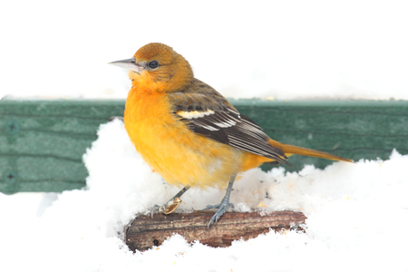 oriole: Young Baltimore Oriole (Icterus galbula) in a snow storm