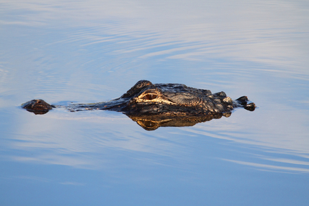 American Alligator (alligator mississippiensis) swimming in the Florida Everglades photo