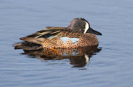Blue-winged Teal (anas discors) in the Florida Everglades