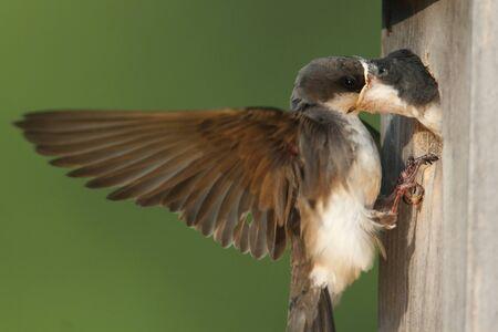 Tree Swallow tachycineta bicolor voeden hongerige baby's