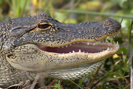 cold blooded: American Alligator (alligator mississippiensis) basking in the sun in the Florida Everglades Stock Photo