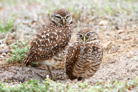 athene: Burrowing Owls (athene cunicularia) by a nest hole in the Florida Everglades
