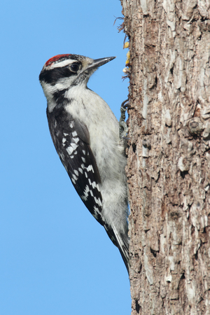 downy woodpecker: Downy Woodpecker (Picoides pubescens) on a branch with a blue background