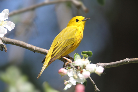 songbird: Yellow Warbler (Dendroica petechia) on a branch in early spring Stock Photo