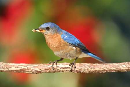 eastern bluebird: Eastern Bluebird  Sialia sialis  on a perch with flowers and worms
