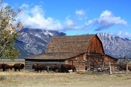 national parks: Iconic Mormon Row Barn which is a structure that is a part of Grand Tetons National Parks with bison in the foreground