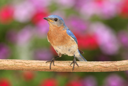 eastern bluebird: Eastern Bluebird  Sialia sialis  on a perch with flowers in the background