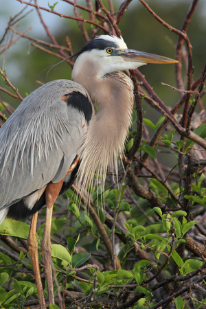 Great Blue Heron (Ardea Herodias) standing in a marsh Stock Photo