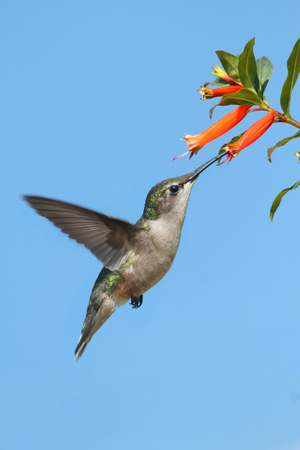 ruby throated: Juvenile Ruby-throated Hummingbird  archilochus colubris  in flight at a flower with a blue background