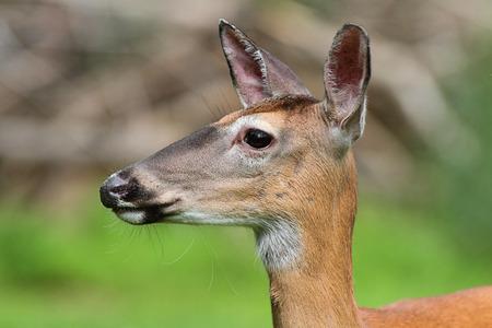 odocoileus: White-tailed Deer (Odocoileus virginianus) doe with a colorful background