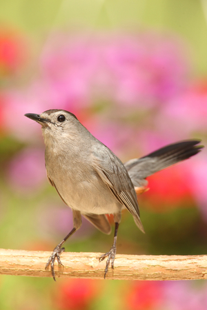 catbird: Gray Catbird (Dumetella carolinensis) on a branch with flowers Stock Photo