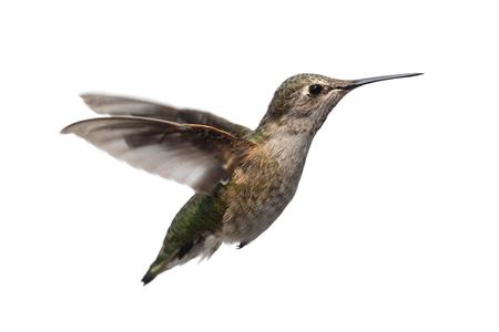Female Annas Hummingbird (Calypte anna) in flight isolated on a white background Foto de archivo