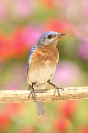eastern bluebird: Eastern Bluebird  Sialia sialis  on a perch with flowers