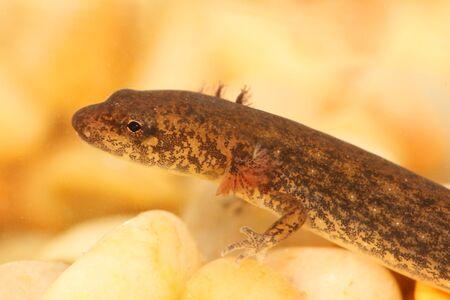 dusky: Larval stage of a Northern Dusky Salamander ( Desmognathus fuscus )