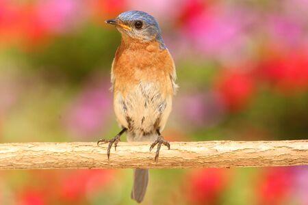 eastern bluebird: Eastern Bluebird (Sialia sialis) on a perch with flowers