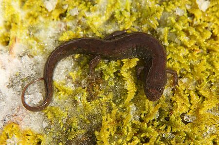 cold blooded: Northern Dusky Salamander ( Desmognathus fuscus ) on a moss covered rock with snow