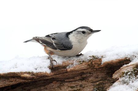 carolinensis: White-breasted Nuthatch (sitta carolinensis) on a branch with snow in the background Stock Photo