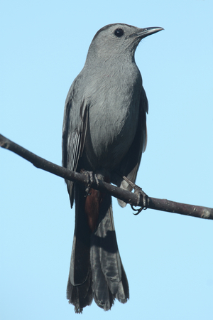 catbird: Gray Catbird (Dumetella carolinensis) on a branch with a blue background