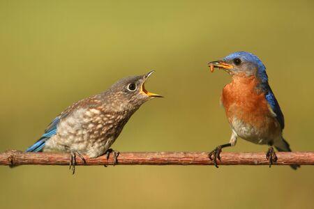 eastern bluebird: Eastern Bluebird (Sialia sialis) feeding a baby on a branch with a green background Stock Photo