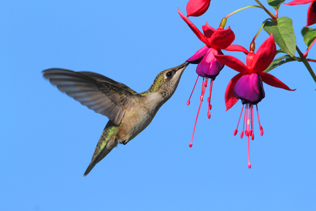 fuschia: Juvenile Ruby-throated Hummingbird (archilochus colubris) in flight at a fuschia flower with a blue background