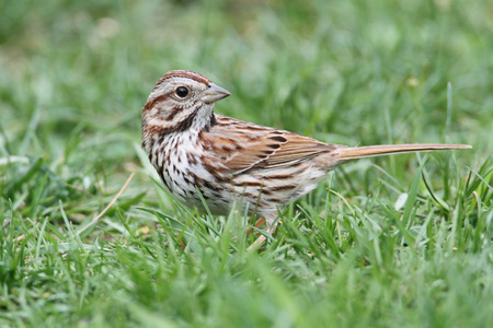 Song Sparrow (Melospiza melodia) in grass on a lawn Banco de Imagens