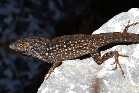 cold blooded: Brown Anole Lizard (Anolis sagrei) in southern Florida Stock Photo