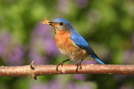 eastern bluebird: Eastern Bluebird (Sialia sialis) on a perch with a worm