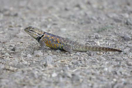 slither: Desert Spiny Lizard (Sceloporus magister) on a sandy surface