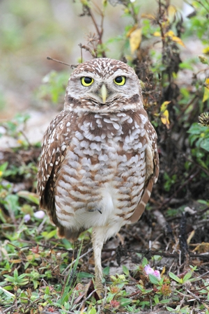 burrowing: Burrowing Owl (athene cunicularia) by a nest hole in the Everglades