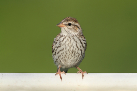 chipping: Juvenile Chipping Sparrow (Spizella passerina) on a branch in summer