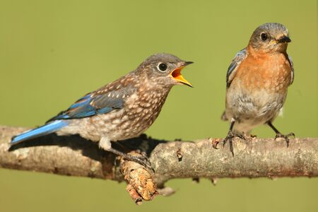 eastern bluebird: Eastern Bluebird (Sialia sialis) with a baby on a branch with a green background