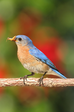eastern bluebird: Eastern Bluebird (Sialia sialis) on a perch with flowers and worms Stock Photo