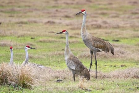 sandhill crane: Sandhill Crane (Grus canadensis) at sunrise