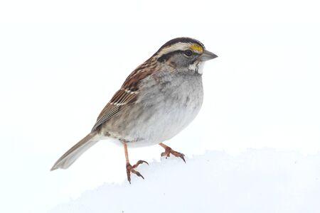 White-throated Sparrow (Zonotrichia albicollis) staat in de sneeuw