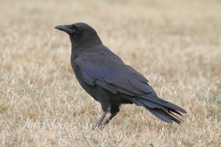 corax: Common Raven (Corvus corax) in a grassy field in summer