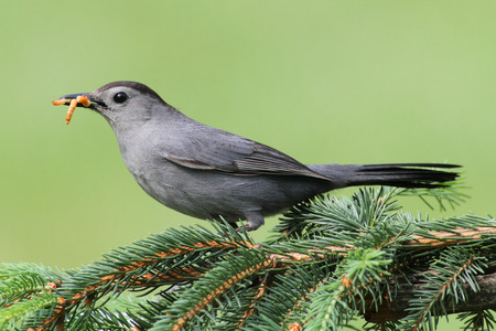 catbird: Gray Catbird (Dumetella carolinensis) on a perch with a green background