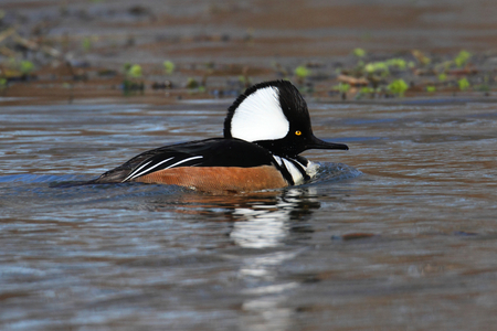 Male Hooded Merganser (Lophodytes cucullatus) swimming in a lake photo