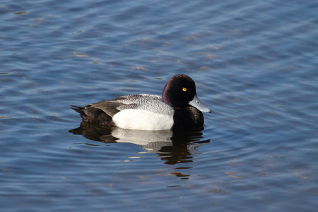 scaup: Lesser Scaup (Aythya affinis) swimming in the Florida Everglades