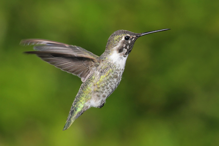 anna: Annas Hummingbird (Calypte anna) in flight with a green background