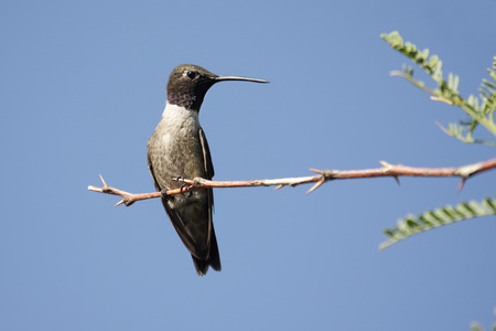 Black-chinned Hummingbird (Archilochus alexandri) on a perch Stock fotó - 31852973