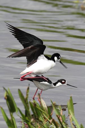 stilts: Black-necked Stilts (Himantopus mexicanus) mating