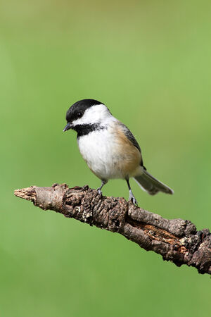 Black-capped Chickadee (poecile atricapilla) on a perch with a green background