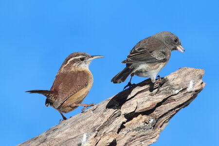 thryothorus: Carolina Wren (Thryothorus ludovicianus) with a Junco on a tree stump with a blue sky background