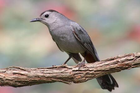 gray catbird: Gray Catbird (Dumetella carolinensis) with a colorful background
