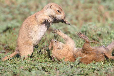 varmint: Black-tailed Prairie Dog (Cynomys ludovicianus) playing in the grass in Oklahoma