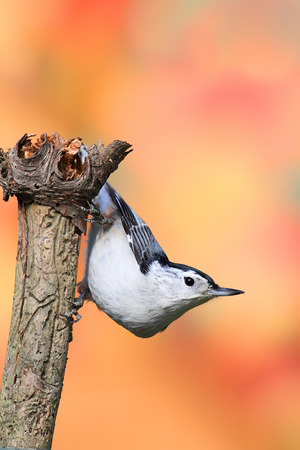carolinensis: White-breasted Nuthatch (sitta carolinensis) on an branch with a colorful background Stock Photo