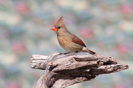 Female Northern Cardinal (cardinalis) on a branch in winter 免版税图像