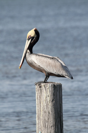 Brown Pelican (Pelecanus occidentalis) perched on a pier the Florida Everglades Banco de Imagens