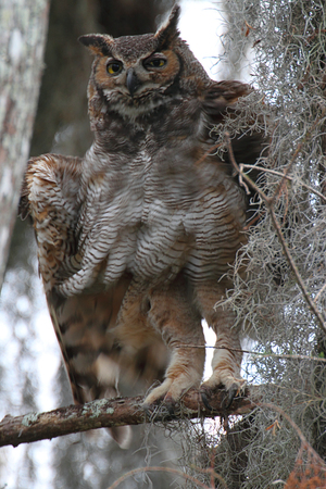 virginianus: Great Horned Owl (Bubo virginianus) perched in a tree with Spanish Moss in the Florida Everglades